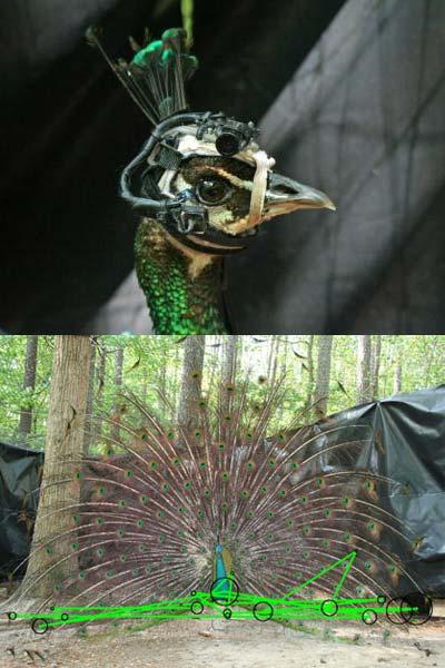 Boven: een pauw met het eye tracking-apparaat op de kop. Onder: de groene lijnen geven aan waar het vrouwtje voornamelijk naar kijkt. Foto's: Duke University.