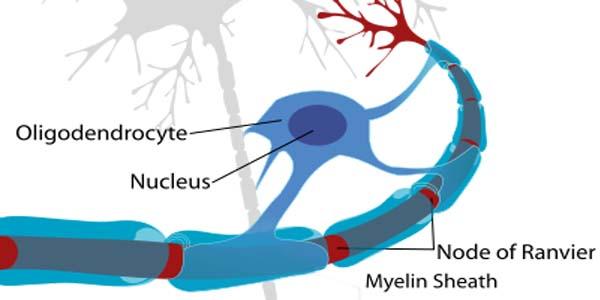 Oligodendrocyte buitenste laag van een zenuwcel met als functie het myeliniseren van de zenuwuitlopers(node of ranvier).