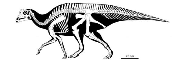Een reconstructie van het complete skelet van de baby dinosaurus. Afbeelding: Scott Hartman.
