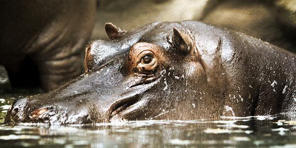 Ook het nijlpaard moet het zonder vacht doen. Afbeelding: Serzhile (cc via Flickr.com).