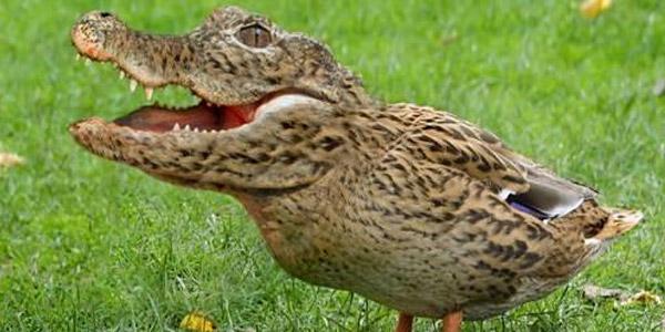 kroko-eend
