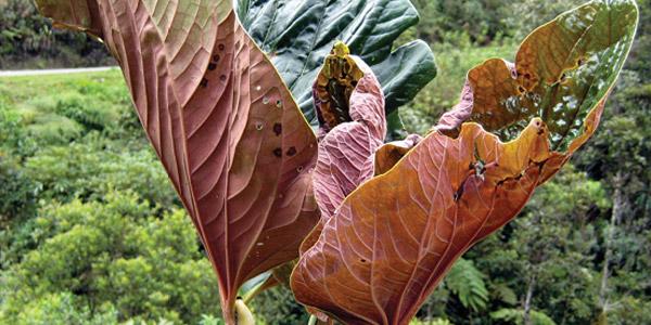 peperplant