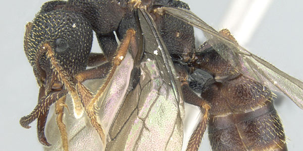 Nieuwe Dracula-mieren scheppen duidelijkheid in mysterieus geslacht