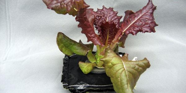 De sla-plant groeit in een soort kussentje. Afbeelding: NASA / Gioia Massa.