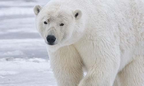 Het gezicht van klimaatverandering: de ijsbeer. Afbeelding: Rubyblossom (cc via Flickr.com).