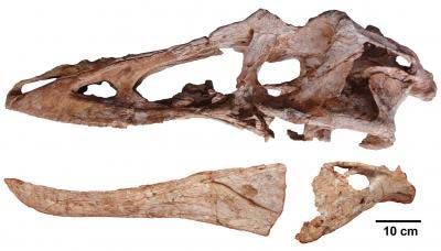 De schedel van de nieuwe dinosaurussoort. Afbeelding: Junchang Lu.