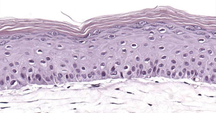 Een doorsnede van het huidmodel. Afbeelding: Biomimiq.