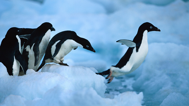 De maag van een pinguïn is een soort natuurlijke koelkast.