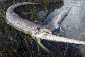 Is het echt mogelijk dat eten jou kan opeten? Een python stierf door een alligator te verorberen.