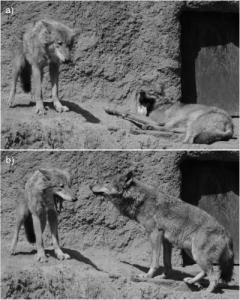 Kort na het gapen van de eerste wolf, geeuwt wolf nummer 2.