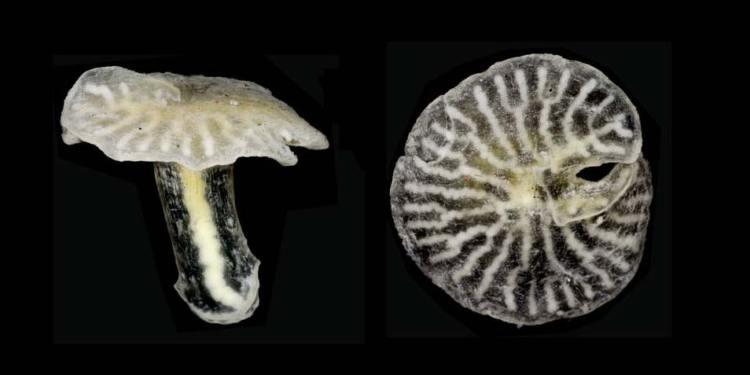 champignondiertje