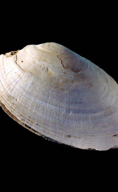 De gegraveerde schelp. Afbeelding: Nature.