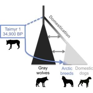 De moderne hond zou minstens 27.000 jaar geleden zijn ontstaan. Oude Siberische wolven soorten hebben bijgedragen aan het ontstaan van de eerste hondenrassen zoals de Siberische Husky. Klik voor een vergroting. Bron: cell.com