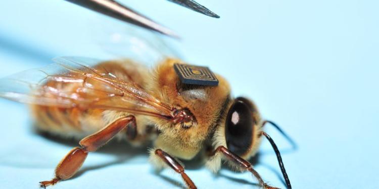 Een bij wordt van een micro-sensor voorzien. Afbeelding: CSIRO.