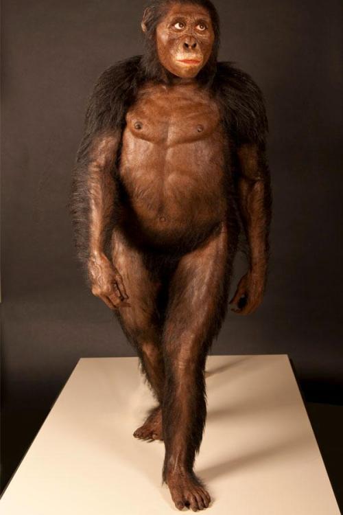 De laatste reconstructie van A. afarensis leverde dit beeld op. Afbeelding: © John Gurche / Cleveland Museum of Natural History.