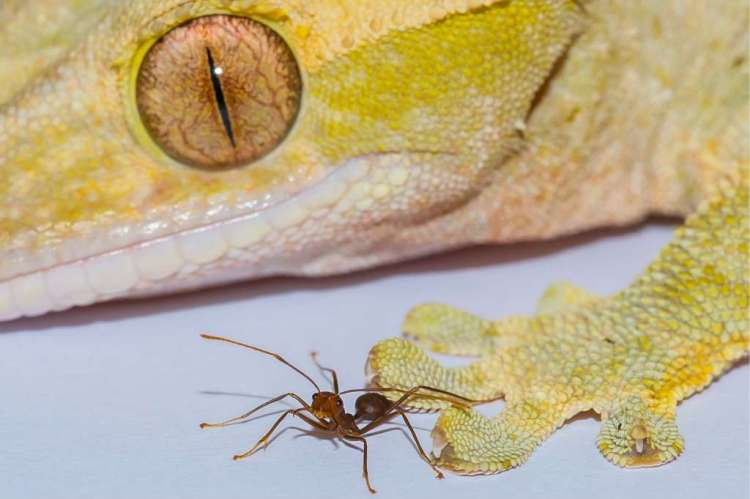 Een gekko en een mier: ze kunnen allebei hetzelfde kunstje. Afbeelding: A Hackmann / D Labonte.