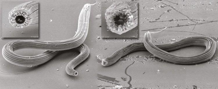 Hier zie je twee van de vijf mondvormen die de onderzoekers binnen één soort rondworm hebben aangetroffen. © MPI f. Devolopmental Biology.