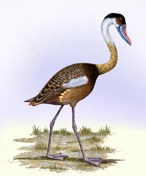 Hier zie je Presbyornis pervetus, een vogel die behoort tot de familie Presbyornithidae. Tot deze familie behoorde ook W. tedfordi, zo toont onderzoek aan. Afbeelding: Willem Syd Merwe.