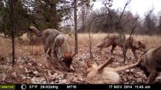 Op een van de geplaatste camera's werd deze roedel wolven vastgelegd. Credits:  National Geographic/Jim Beasley