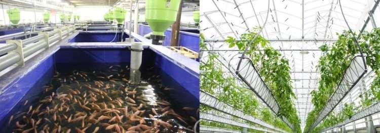 In de stadsboerderij in Den Haag zwemmen vissen rond (links) en verbouwen ze groentes zoals tomatenplanten (rechts) Credits: Urban Farmers