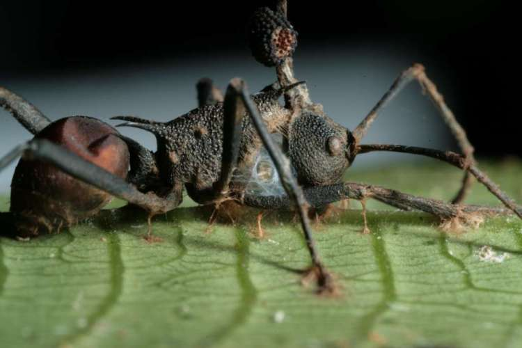 Hier zie je zo'n onfortuinlijke mier die de schimmel Ophiocordyceps unilateralis aan boord heeft. Uit zijn kop groeit de hierboven beschreven stengel. Afbeelding: David Hughes / Penn State University.