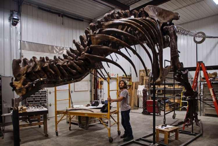 De opbouw van T. rex in de VS. Afbeelding: Naturalis.