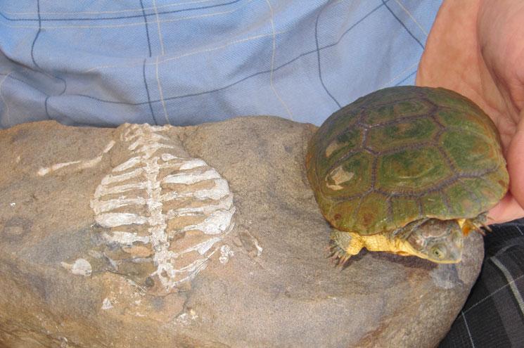 De fossiele resten van een schildpad die heel lang geleden leefde en daarnaast een moderne schildpad. Afbeelding: Denver Museum of Nature & Science.