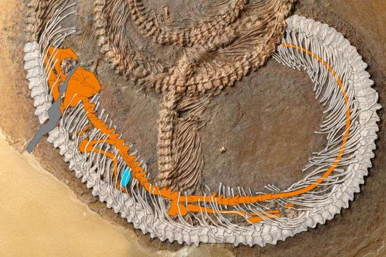 In het lichaam van de slang bevond zich een hagedis (oranje) en in de hagedis een kever (blauw). Afbeelding: Krister Smith.