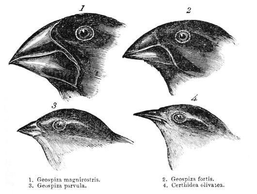 I fringuelli delle Galapagos. Le differenze tra i loro becchi sottolineano il fenomeno della cosiddetta radiazione adattiva, la diversificazione di nuove specie a partire da un progenitore comune. (Immagine: Wikimedia Commons)