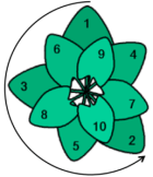 spirale foglie fibonacci