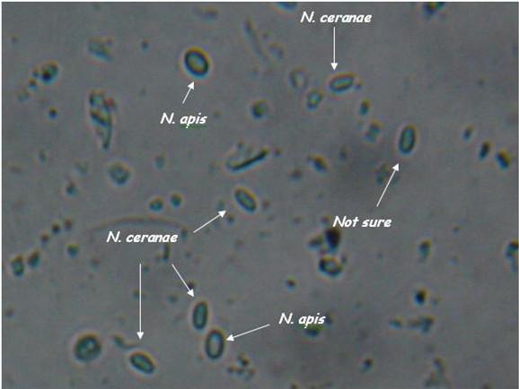 nosema spores