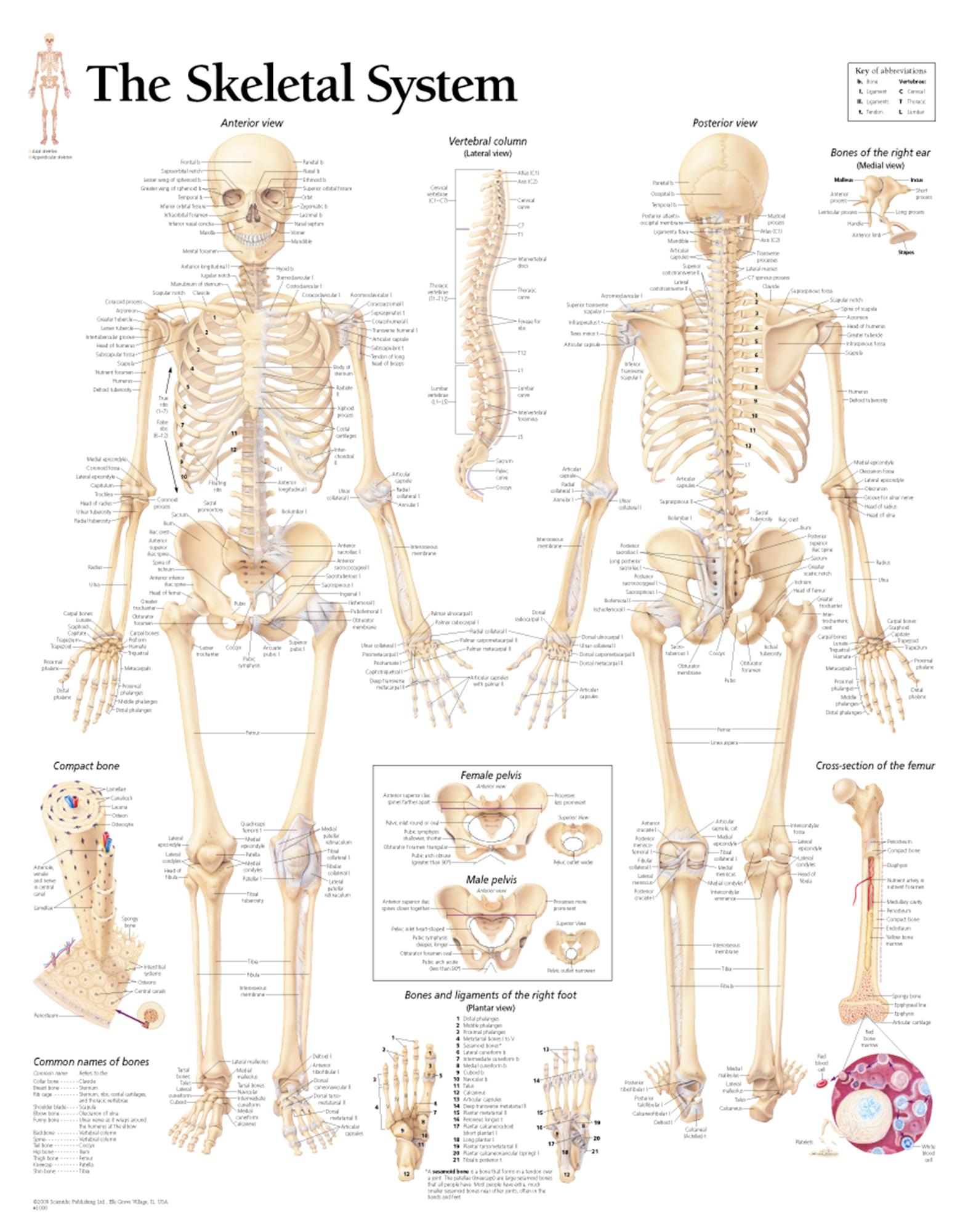 The Skeletal System Scientific Publishing
