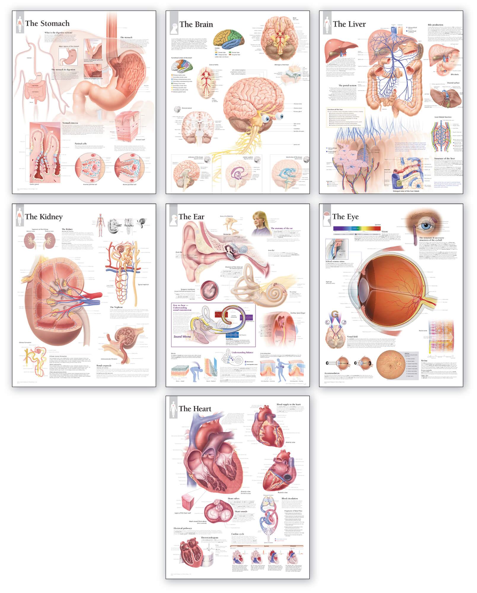 Body Organ Wall Chart Set Scientific Publishing