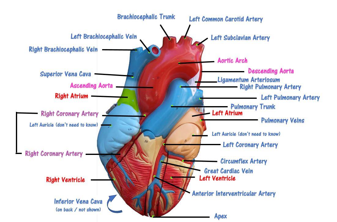 Left Pulmonary Artery Anatomy Gallery - human body anatomy