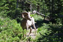 Bighorn Sheep in Glacier National Park