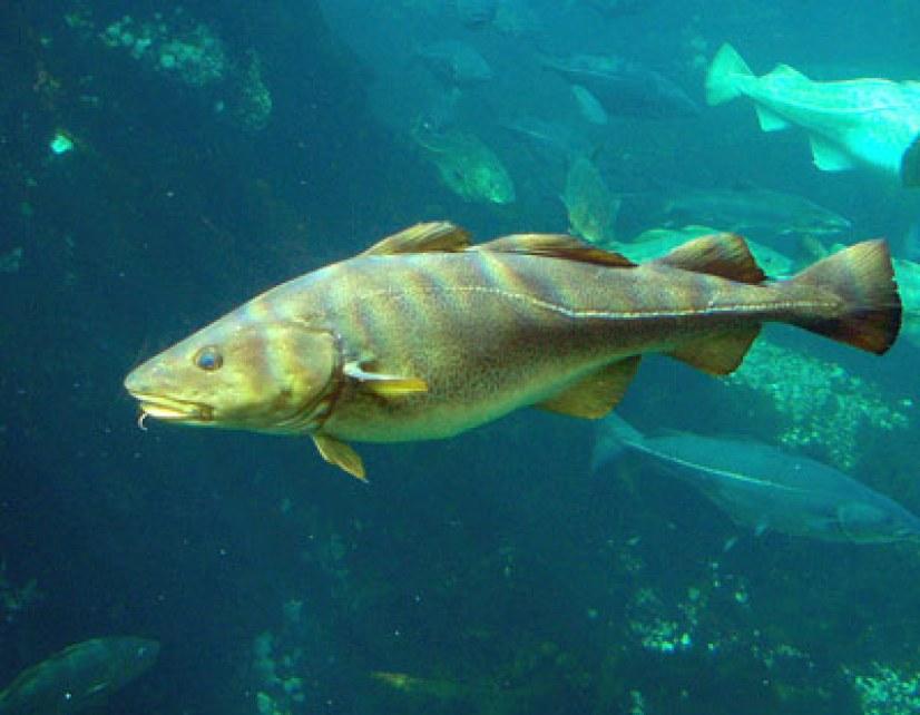 Kabeljau (Gadus morhua): Raubfisch und wichtiger Carnivore in seinem Ökosystem