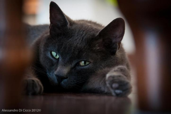 akira il gatto - akira the cat