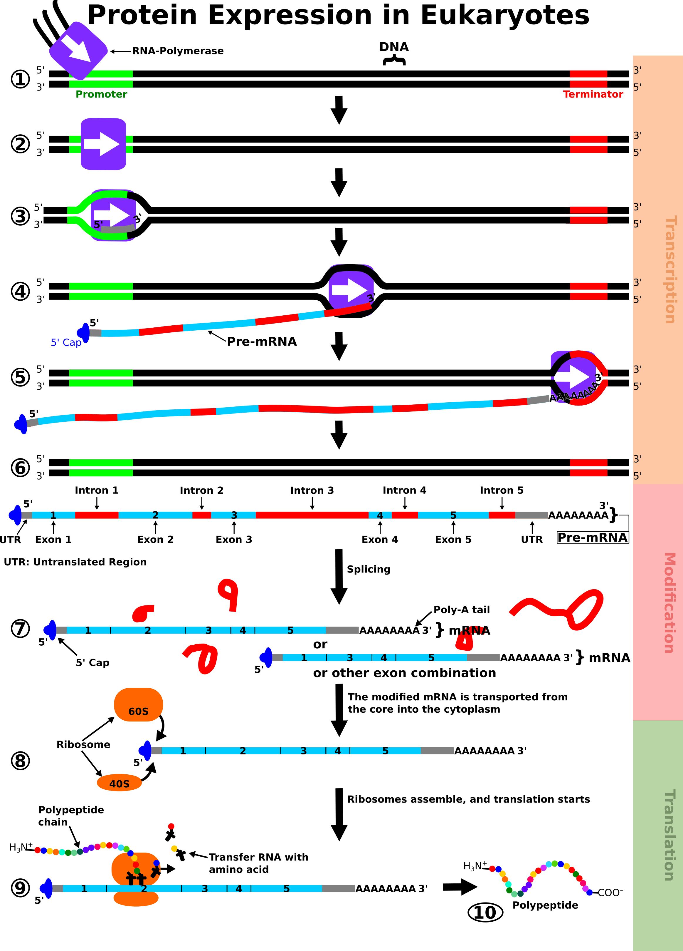 Dna Replication Rna Transciption Translation