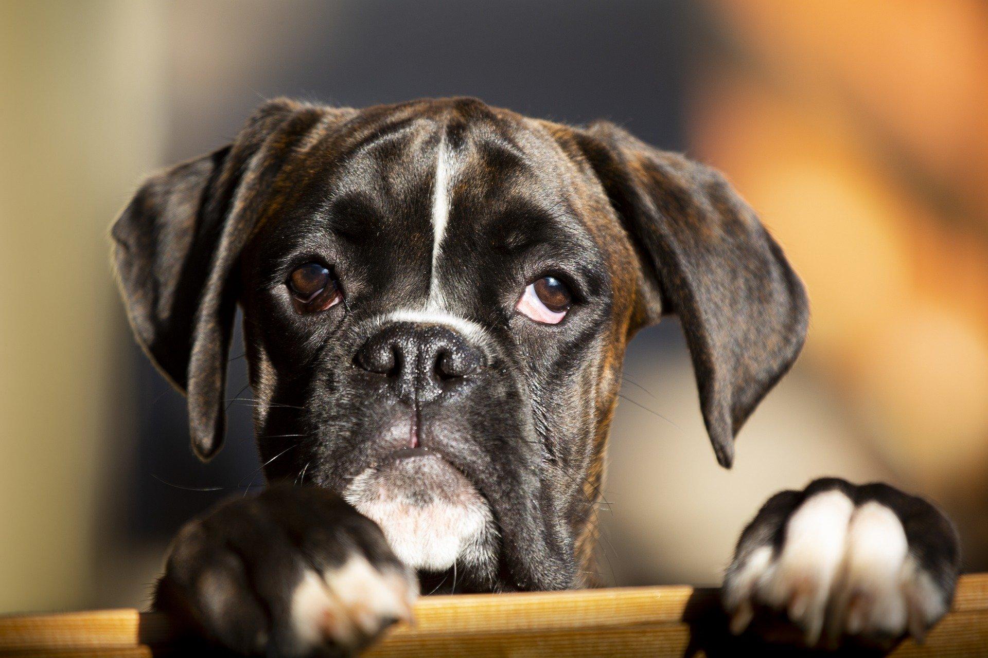 Brachycéphales chien