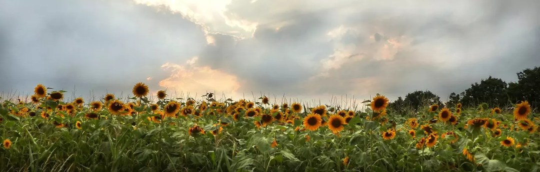 Summer sky above a field of sunflowers.