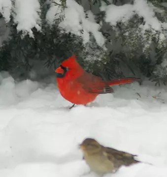 A cardinal in snow