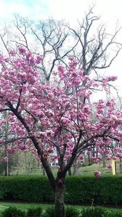 Cherry Blossoms, Mount Saint Vincent