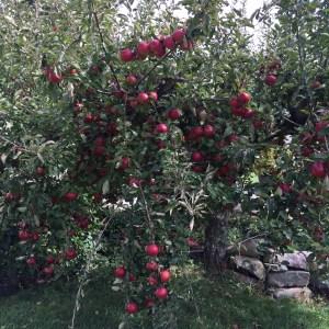 LOTS of MacIntosh apples.