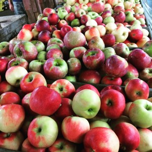 A variety of apples are on display at Schutt's Apple Mill, just a few miles form my house. Their cider is ah-maz-ing.