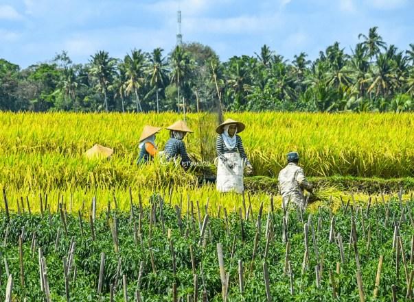 Risaie di Jatiluwih - Bali, Indonesia