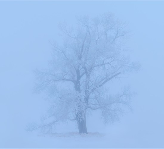 A lone tree enveloped in ice and fog in Saskatchewan