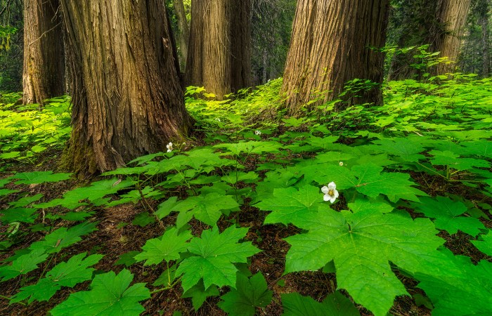 A landscape photograph of old growth forest along the Ancient Cedars Boardwalk near Whistler, British Columbia