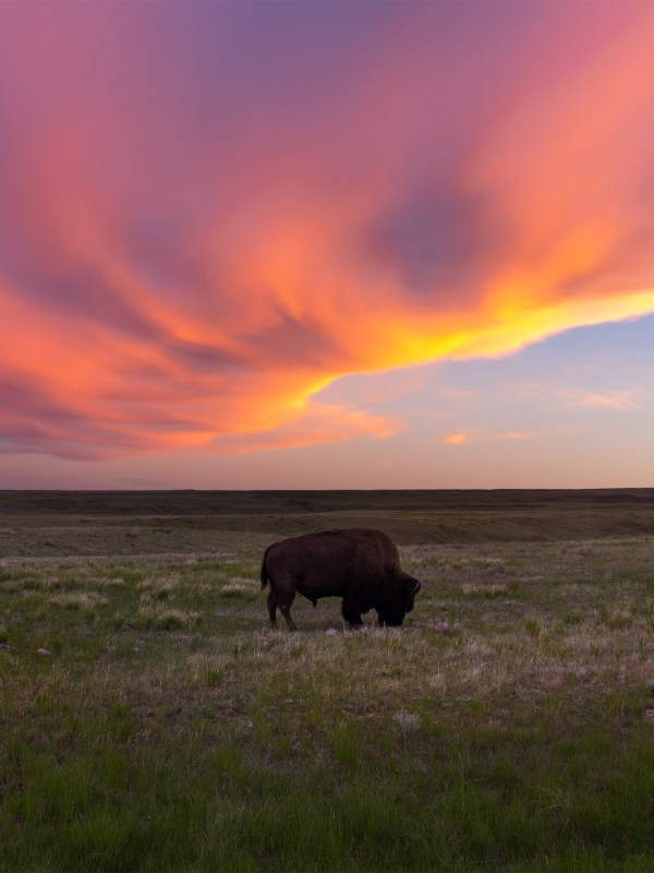Sunset photography of a bison or buffalo in Grasslands National Park