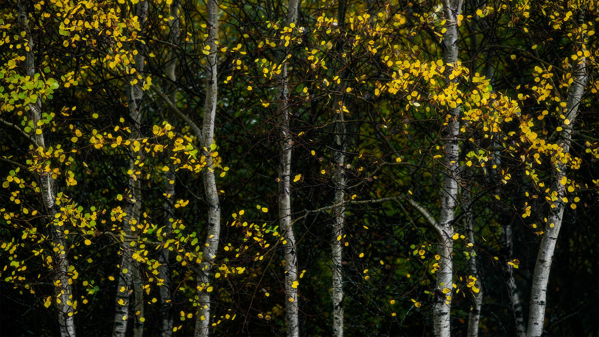 An abstract photograph of autumn leaves set in front of aspen tree trunks in White Butte Trails, Saskatchewan