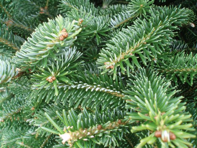 Potted Fraser Fir Scottish Christmas Trees